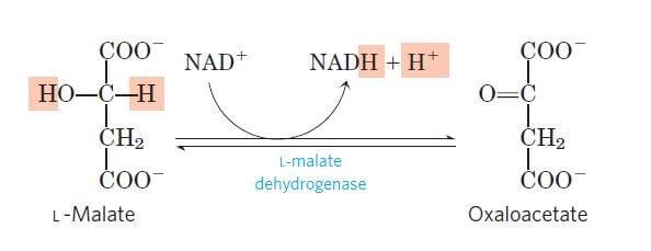 Dehydrogenation of L-malate to oxaloacetate