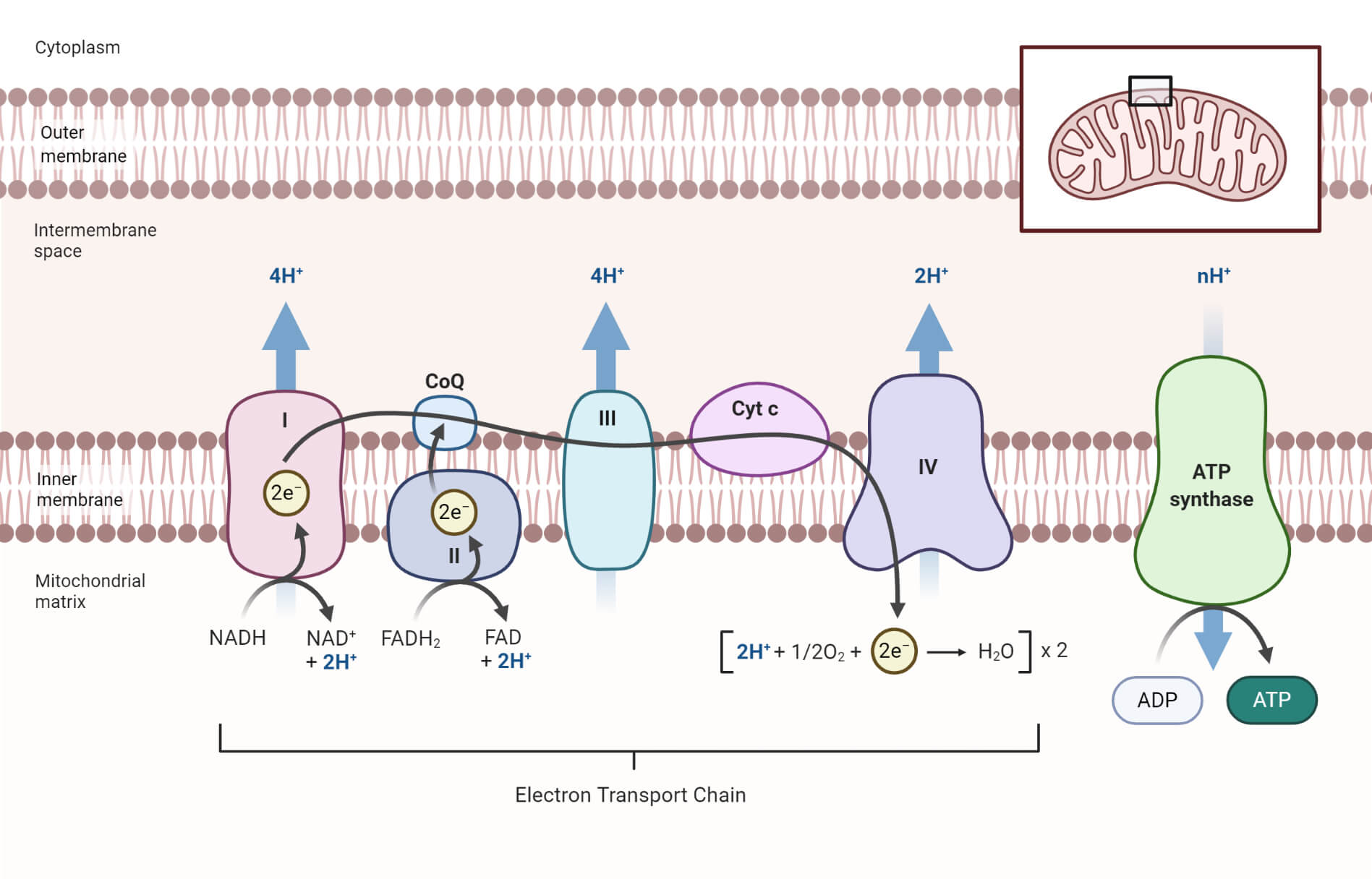 Electron Transport Chain (ETC)