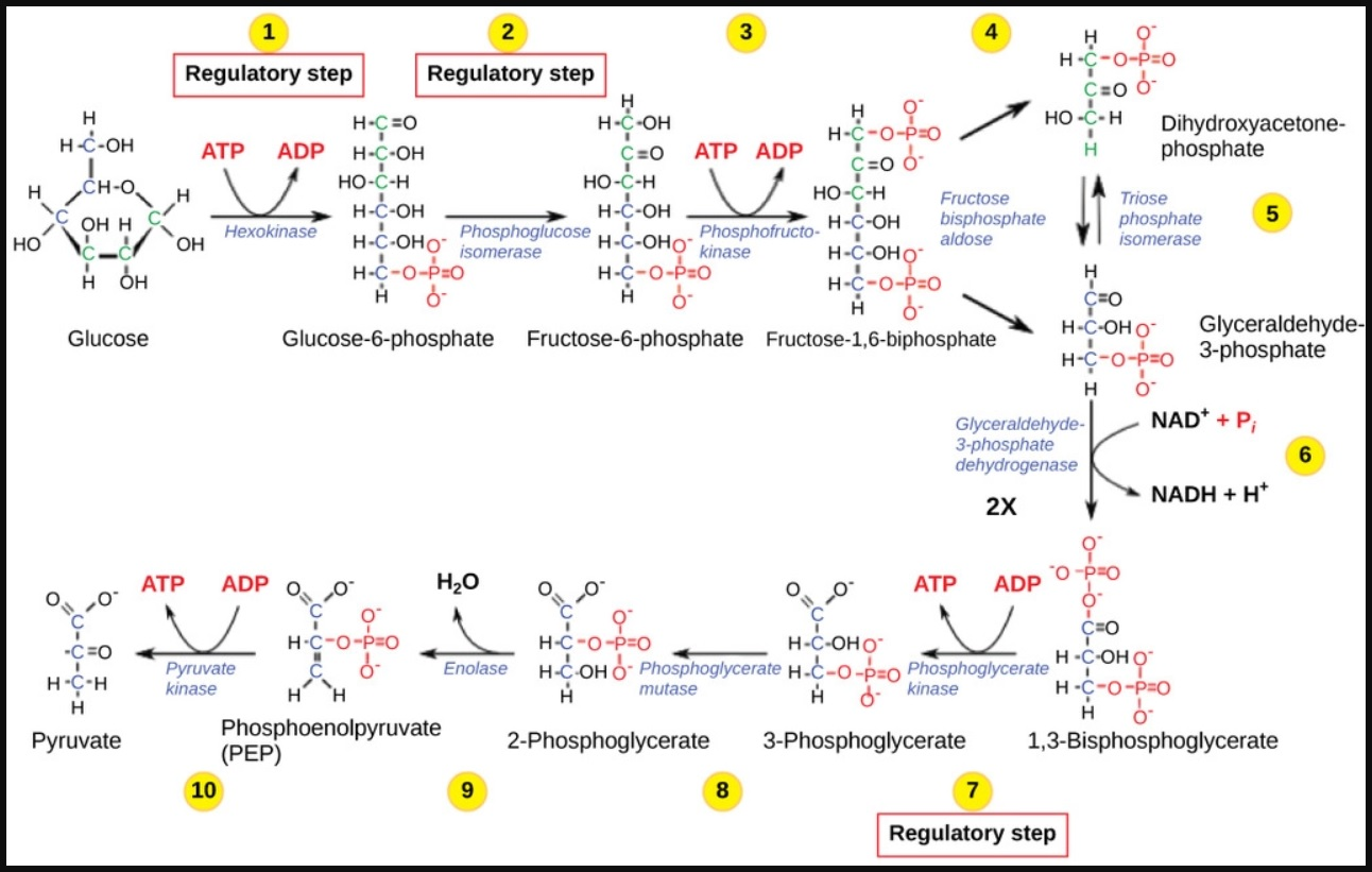 Glycolysis Definition Equation Enzymes 10 Steps With Diagram