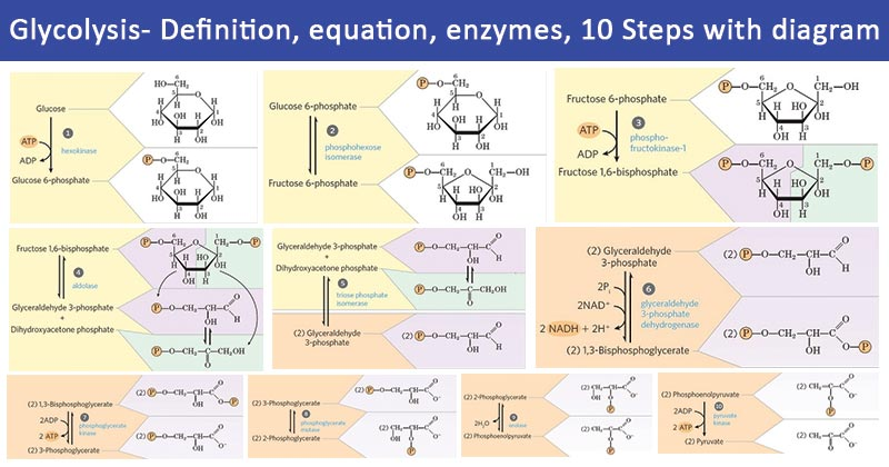 Glycolysis- definition, equation, enzymes, 10 Steps with diagram