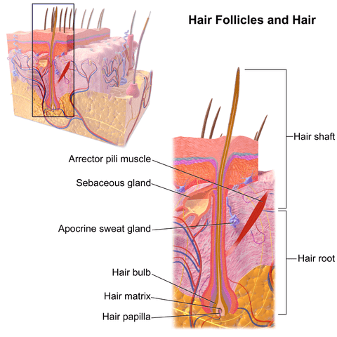 Hair and Hair follicles