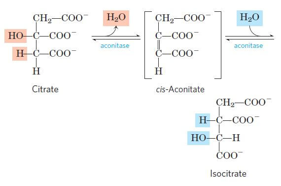 Isomerization of citrate into isocitrate