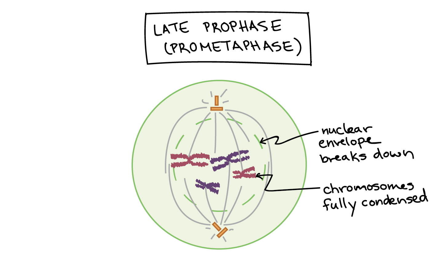 Late Prophase in mitosis