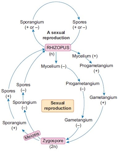 Life cycle of Rhizopus