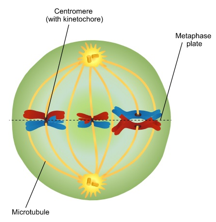 Metaphase 1 in Meiosis