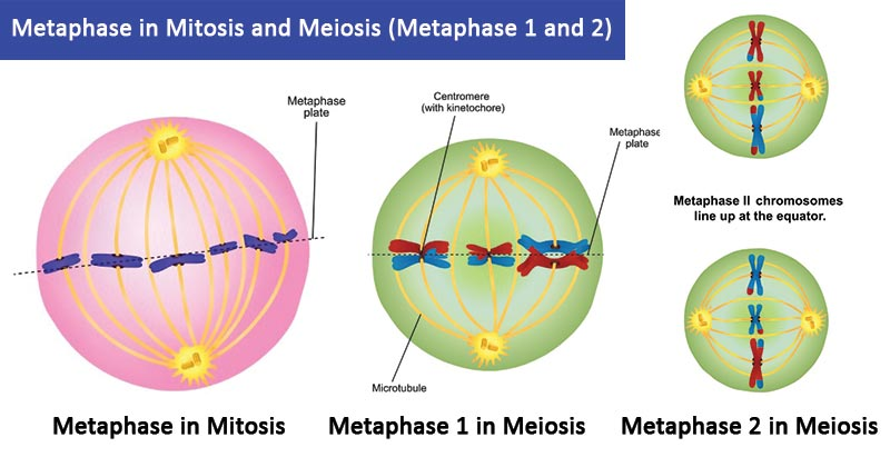 Metaphase in Mitosis and Meiosis (Metaphase 1 and 2)