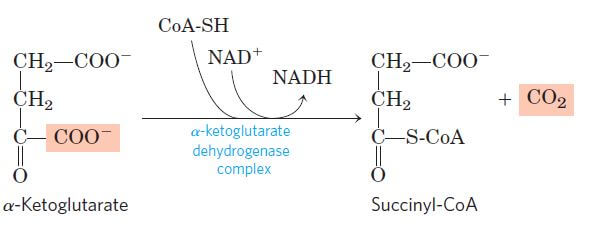 Oxidative decarboxylation of α-ketoglutarate