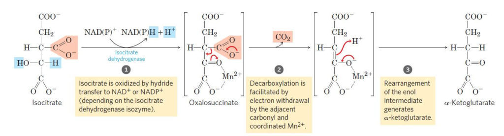 Oxidative decarboxylations of isocitrate