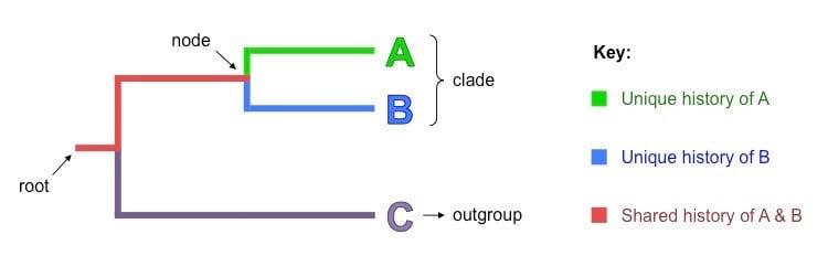 Parts of a cladogram