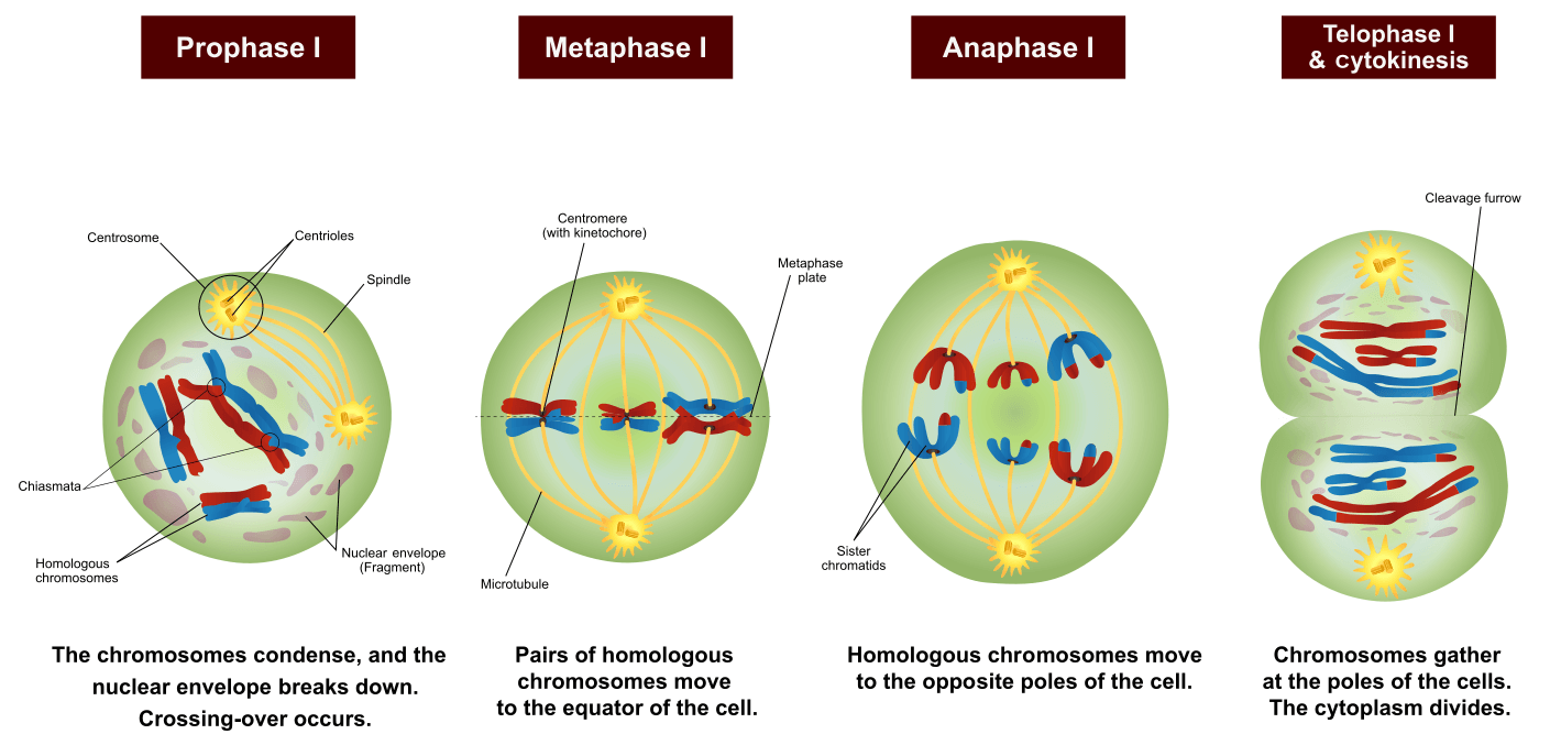 Phases of Meiosis I