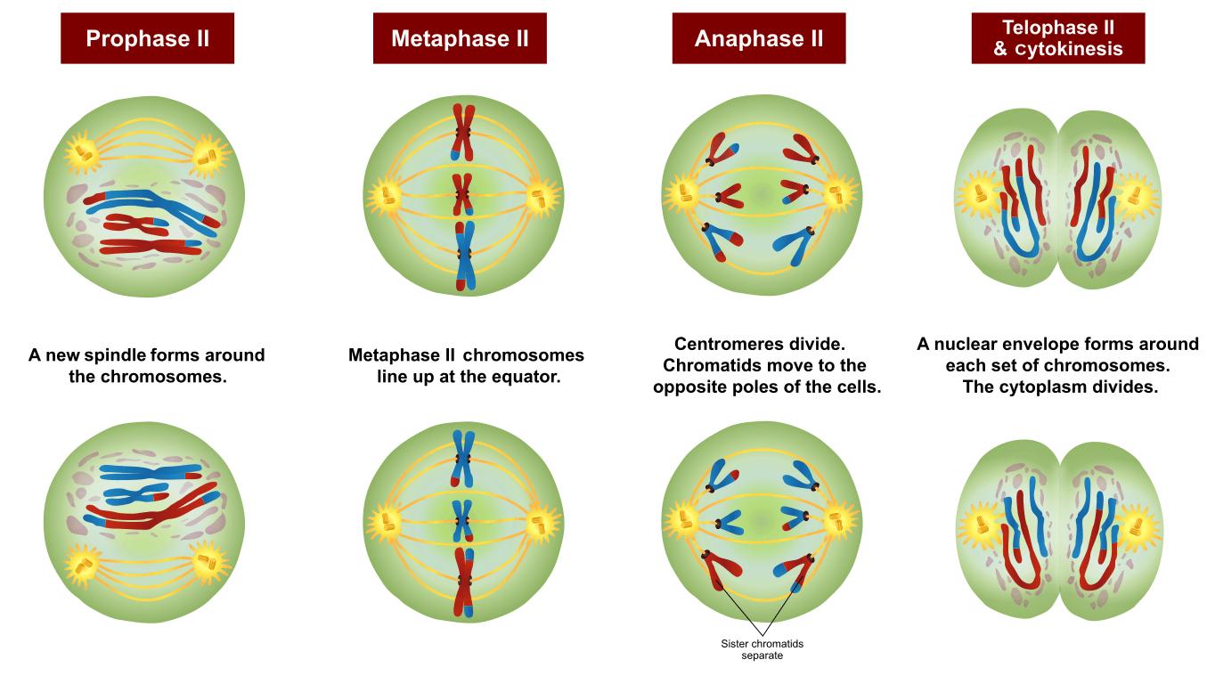 Phases of Meiosis II