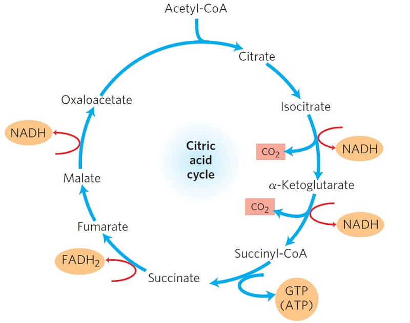 Products of one turn of the citric acid cycle