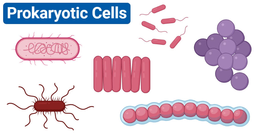 Prokaryotic cells- characteristics, structure, division, examples