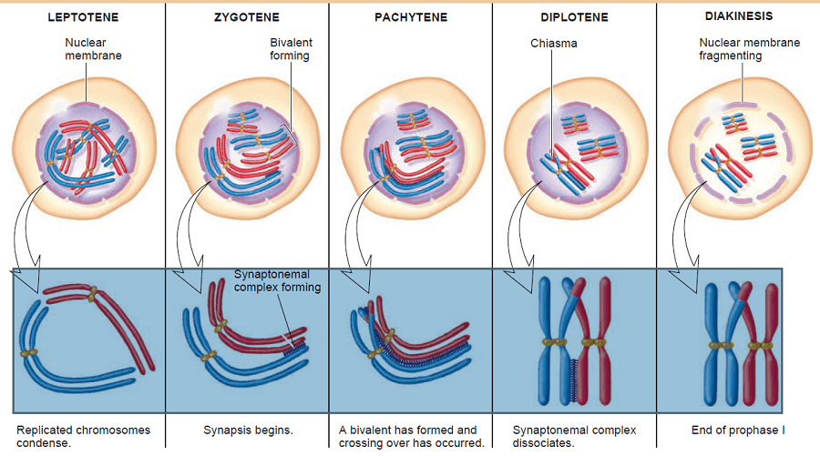 Prophase 1 stages of Meiosis
