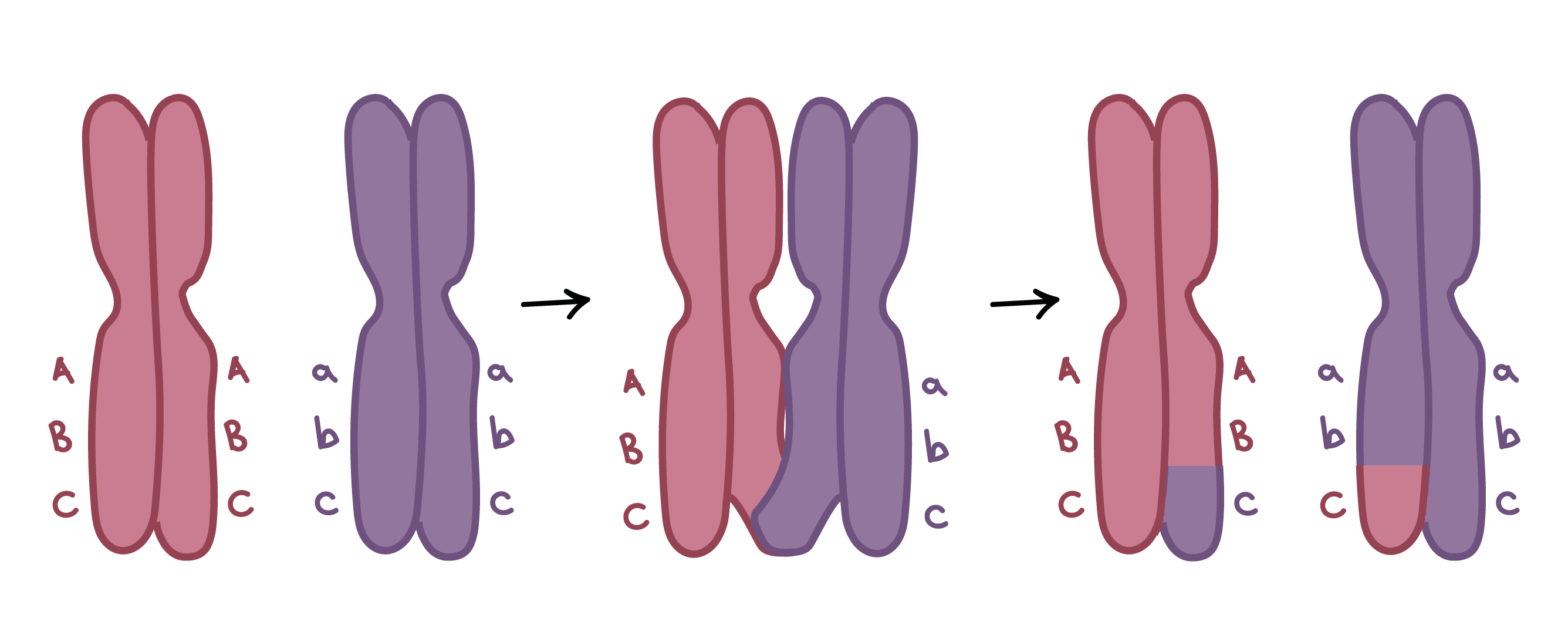 Prophase I- Meiosis