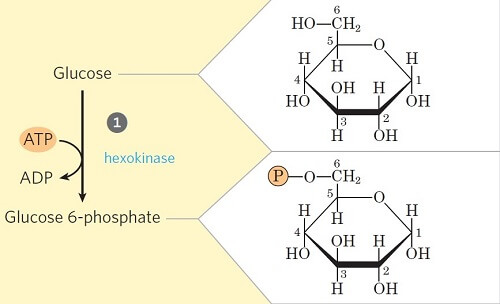 Step 1- Phosphorylation of glucose