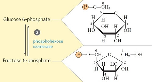 Step 2- Isomerization of Glucose-6-phosphate