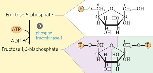 Step 3- Phosphorylation of fructose-6-phosphate