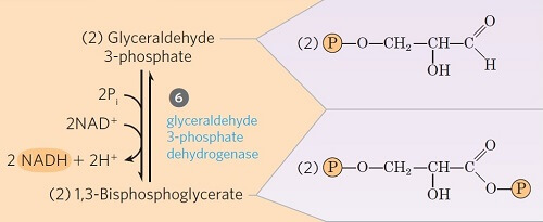 Step 6- Oxidative Phosphorylation of Glyceraldehyde 3-phosphate