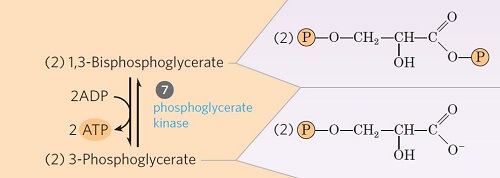 Step 7- Transfer of phosphate from 1, 3-diphosphoglycerate to ADP