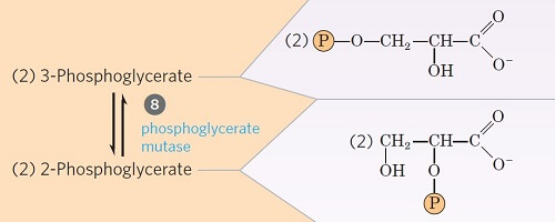 Step 8- Isomerization of 3-phosphoglycerate