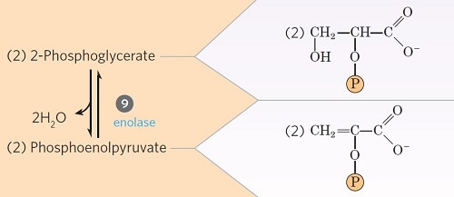 Step 9- Dehydration 2-phosphoglycerate