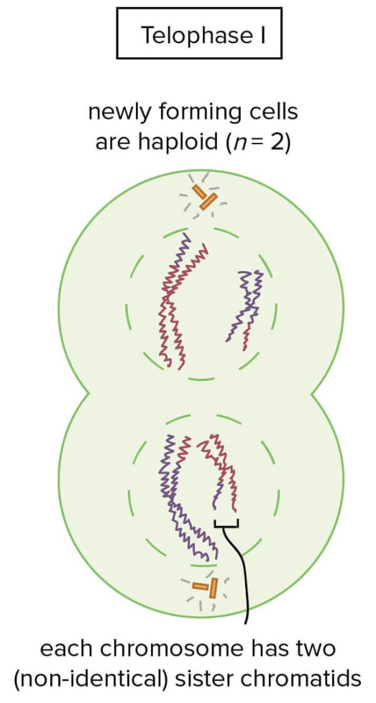 Telophase I in meiosis