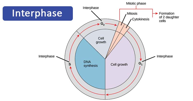 The Stages of Interphase and the Cell Cycle
