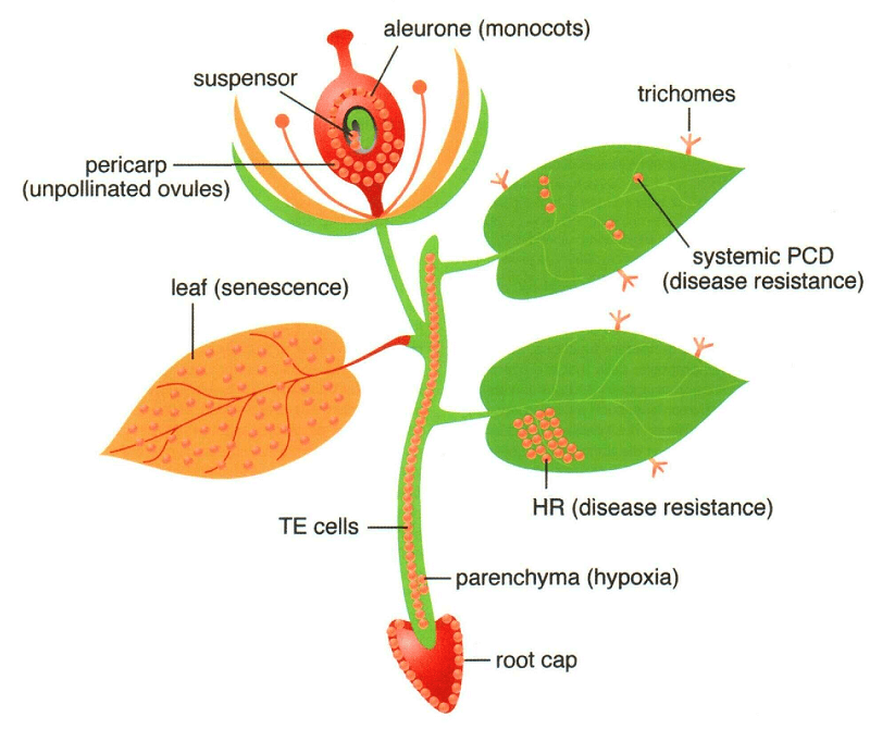 Apoptosis in Plants