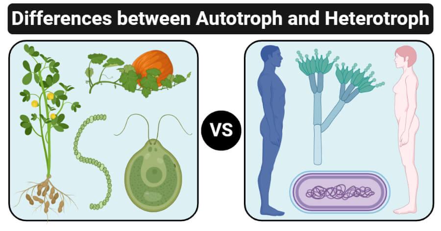 Differences between Autotroph and Heterotroph (Autotroph vs Heterotroph)