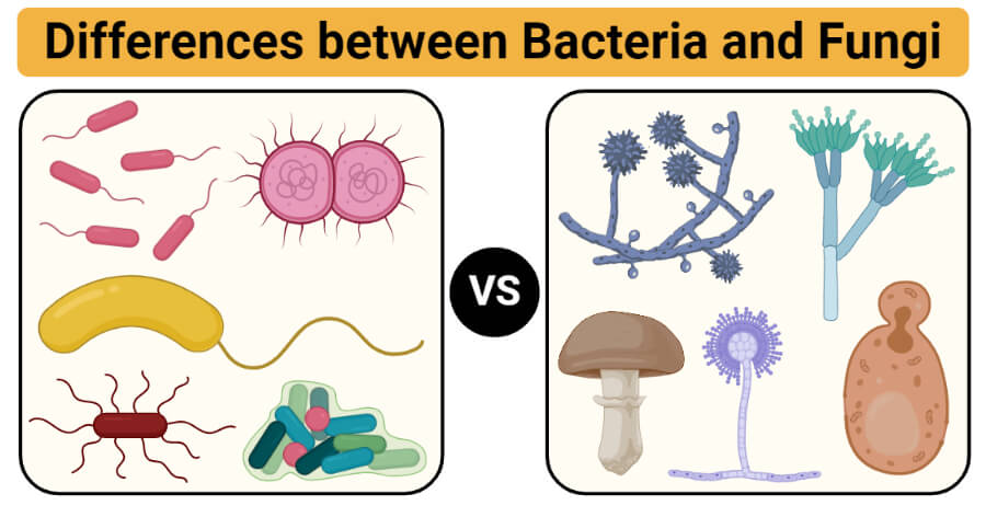 Differences between Bacteria and Fungi (Bacteria vs Fungi)
