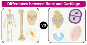 Differences between Bone and Cartilage (Bone vs Cartilage)