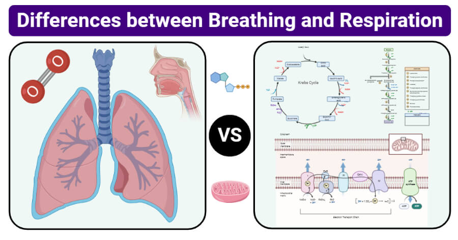 15 Differences Between Breathing And Respiration