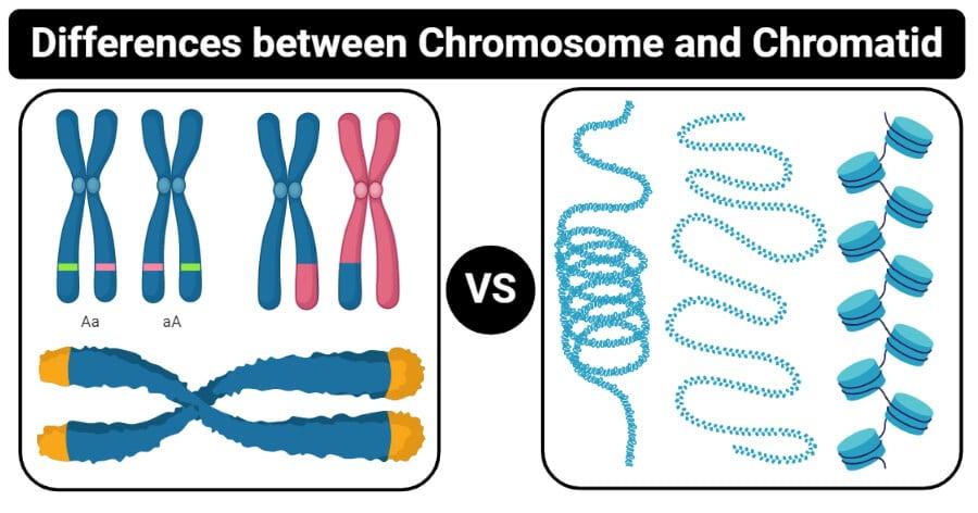 Differences between Chromosome and Chromatid (Chromosome vs Chromatid)