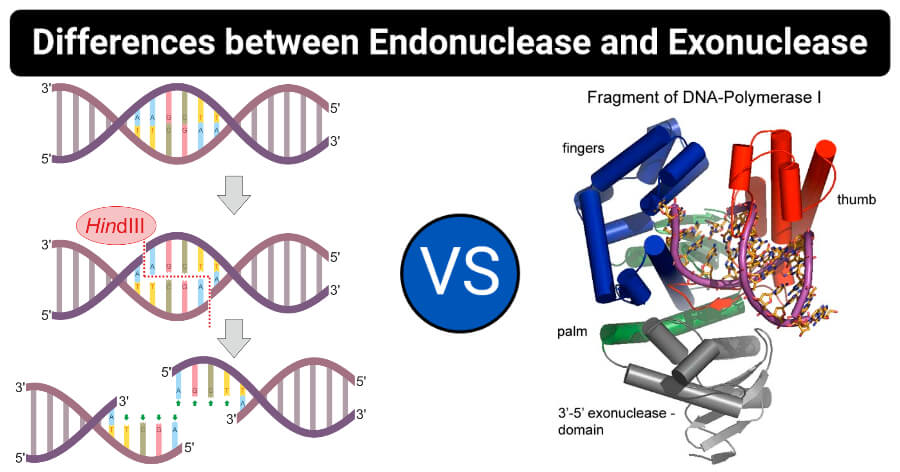 Differences between Endonuclease and Exonuclease