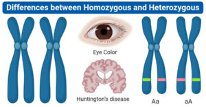 Differences between Homozygous and Heterozygous