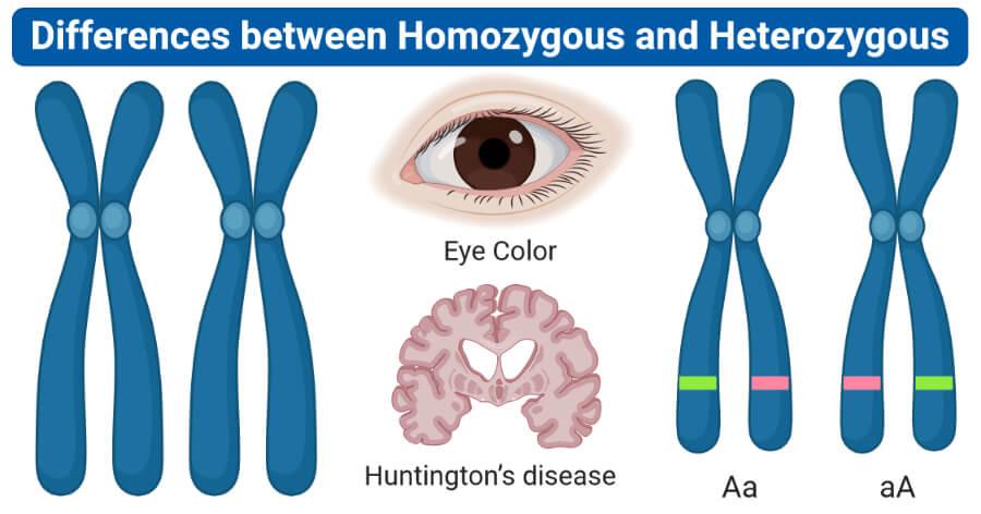 Differences between Homozygous and Heterozygous