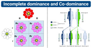 Differences between Incomplete dominance and Co-dominance
