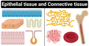 Differences between epithelial tissue and connective tissue