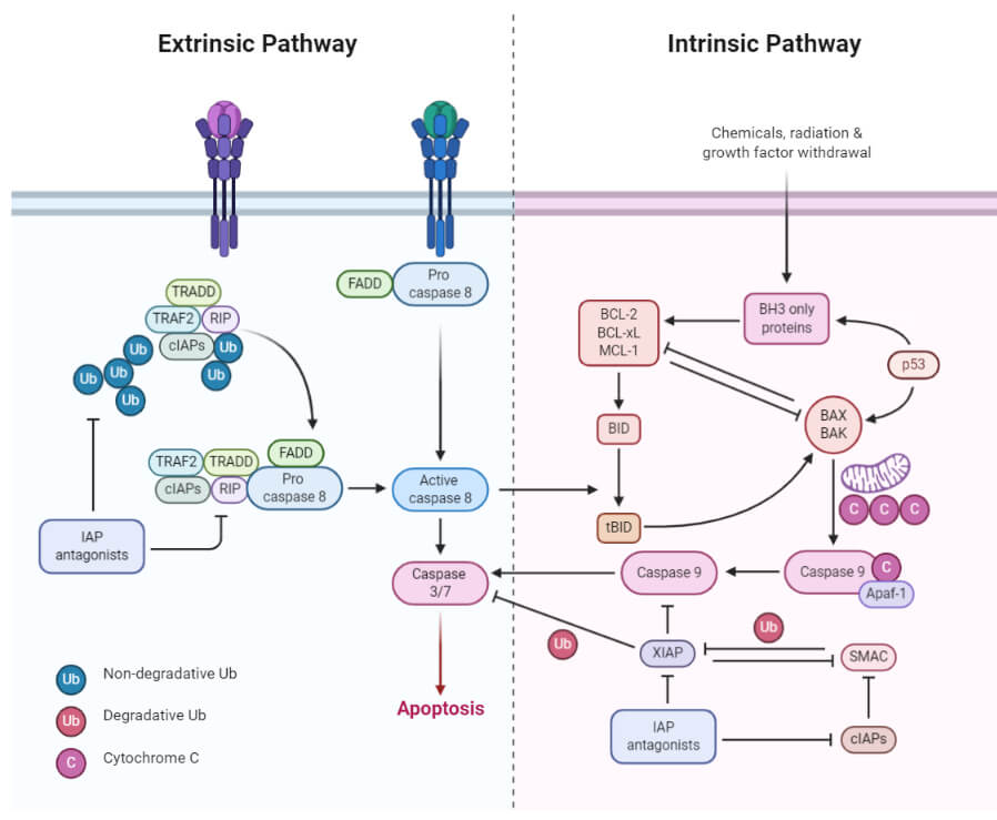 Extrinsic and Intrinsic Apoptosis