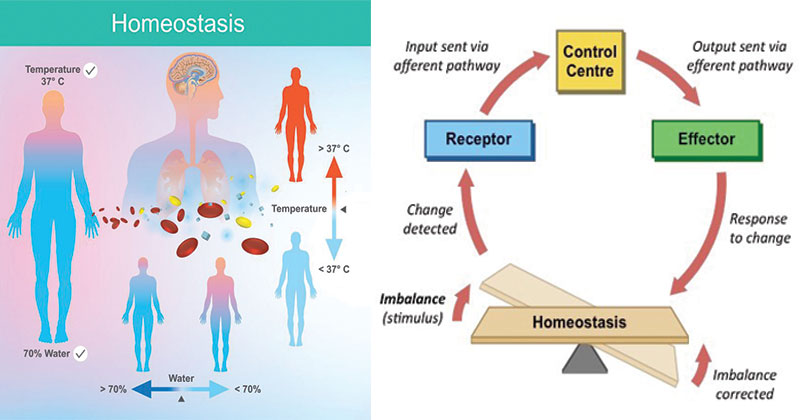Homeostasis- Definition, Types, Examples, Applications
