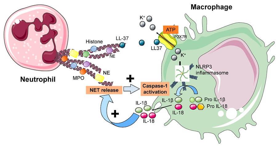 Interactions between neutrophils and macrophages