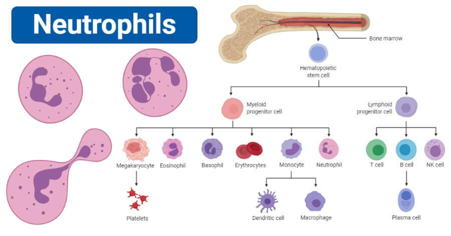 Neutrophils - Definition, structure, count, range, functions