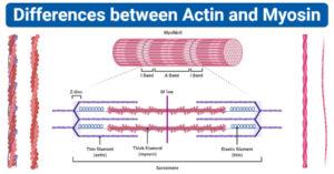 differences between Actin and Myosin (Actin vs Myosin)