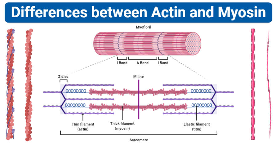 differences between Actin and Myosin (Actin vs Myosin)