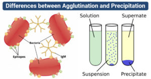 differences between Agglutination and Precipitation (Agglutination vs Precipitation)