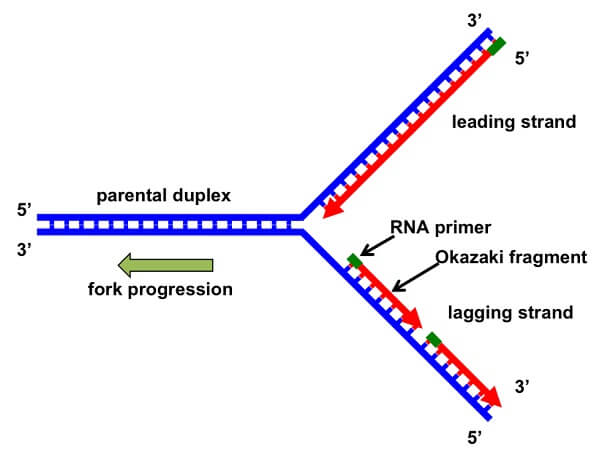 DNA Replication Fork Formation