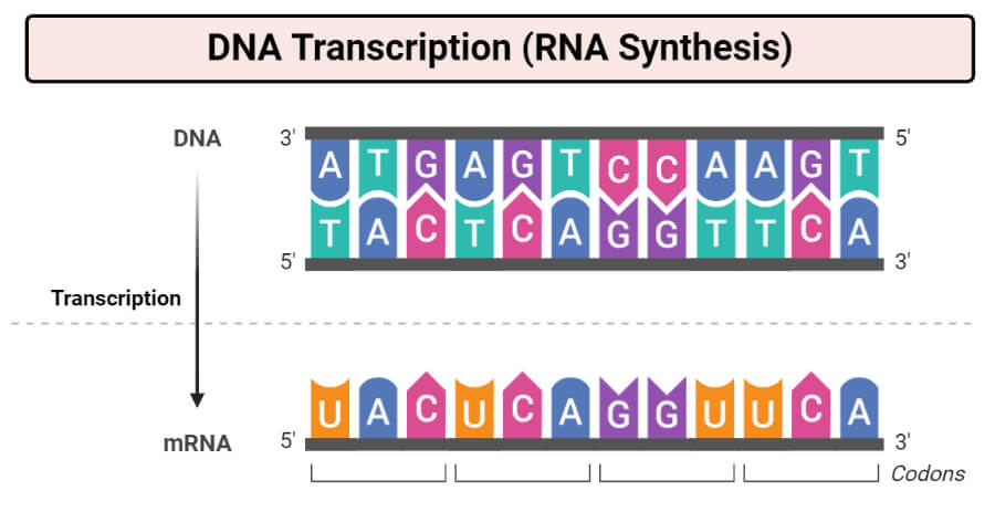 DNA Transcription (RNA Synthesis)