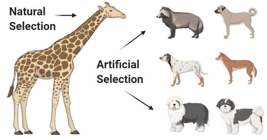 Differences Between Natural and Artificial Selection