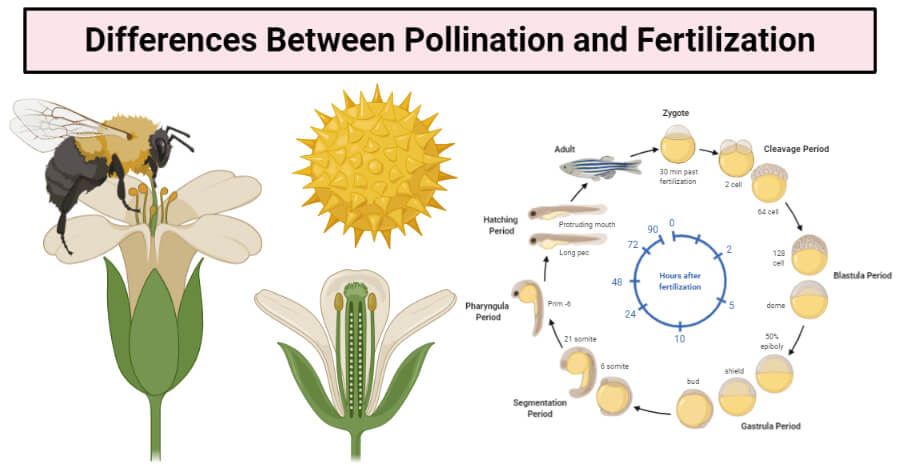 Differences Between Pollination and Fertilization